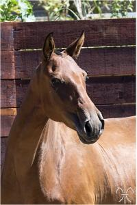 Photo cheval a vendre DALILA DE LA GESSE
